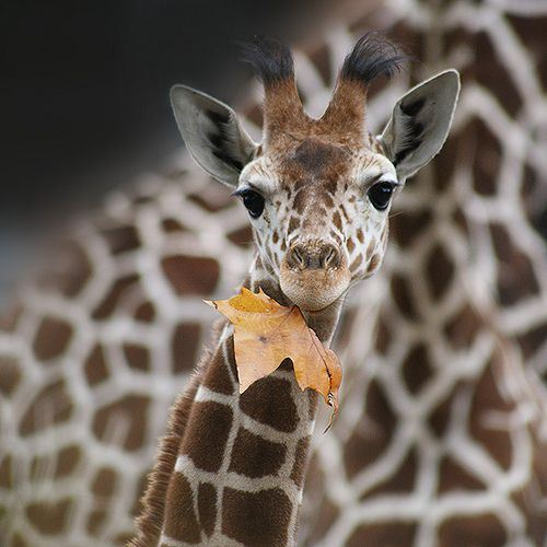 autumn, baby, fall, giraffe, leaf