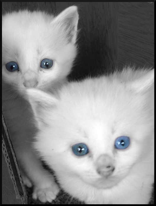 Cute White Cats With Blue Eyes - 163.4KB