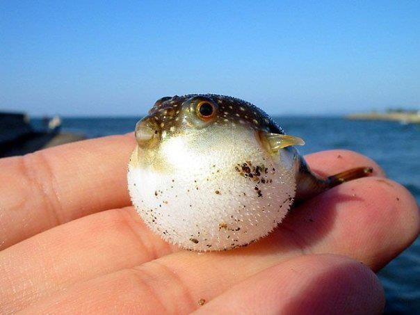 Aww Blowfish Cute Fish Ocean Image 260697 On