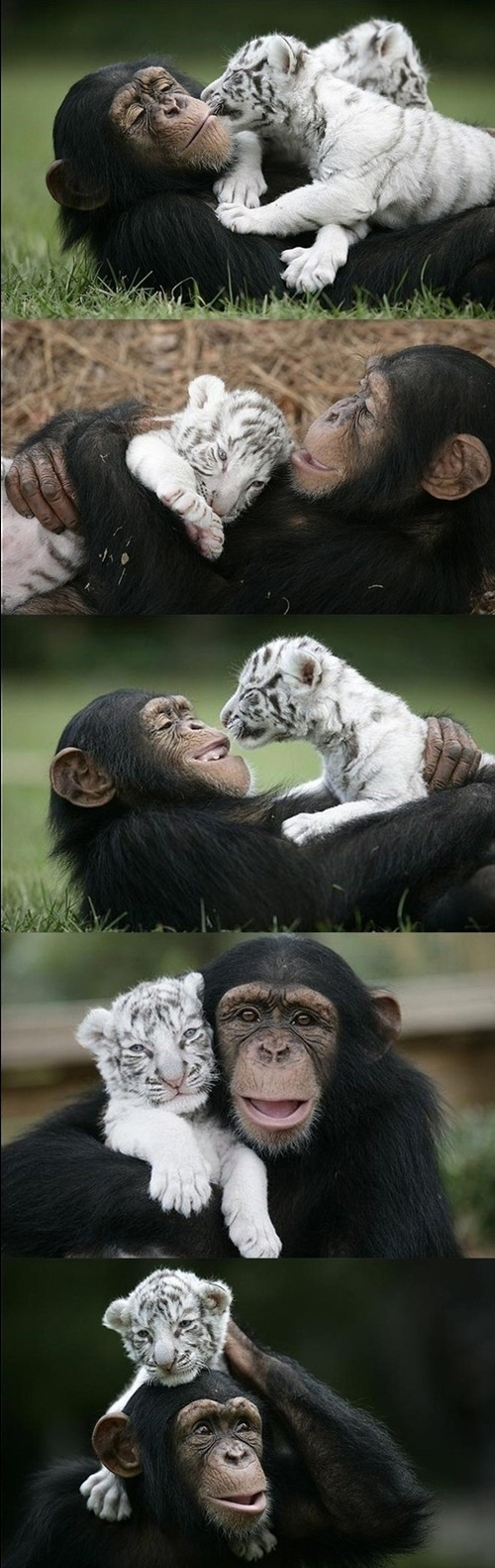 aww, cute, monkey, tiger