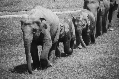 babies animals, black and white, cute, elephants