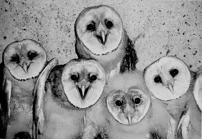 barn owl, barn owls, black and white, cute, owl, owls, photography