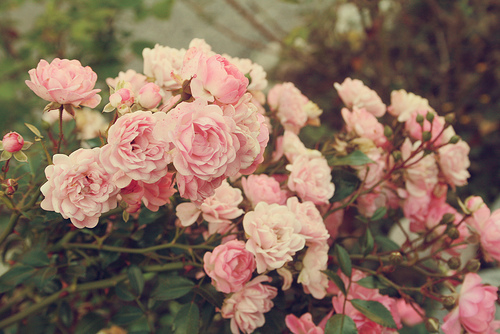 beautiful, bish, flowers, pink flowers, pink roses