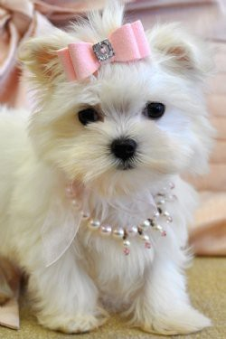 cute, diamonds, dog, fun, funny, glam, glamour, hilarious, little, love, pearls, pink, white