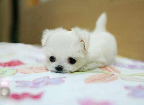 cute, dog, puppy, white