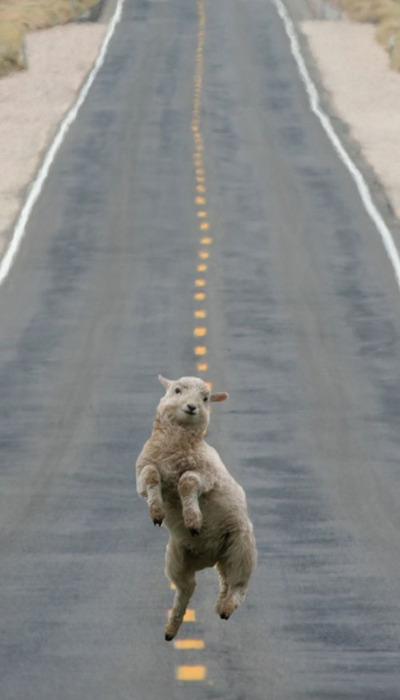 desert, funny, road, sheep