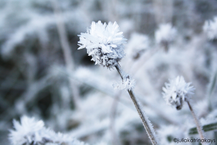 flower, frost, snow, winter