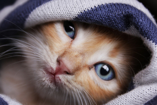 adorable, animal, awww, baby, blue, cat, cute, eyes, little, pet