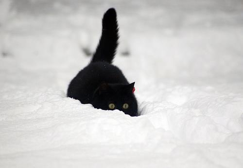 adorable, animal, beautiful, black, cat, classy, contrast, cute, cutie, eyes, fabulous, fat cat, going through, love, lovely, nice, snow, tail, white, winter, wonderful