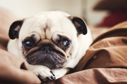 adorable, cute, dog, pug, puppy
