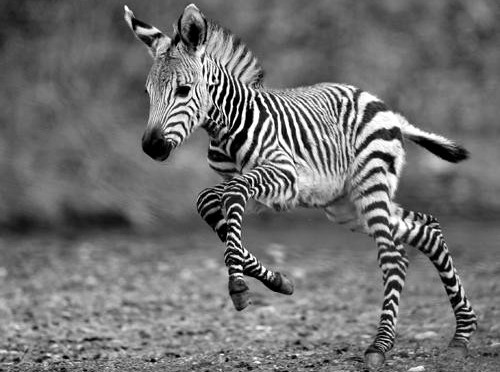 africa, amazing, animal, animals, baby, baby zebra, cute, zebra, stripes, lil zebra, beautiful, black and white, white, ctrl d, photography, nature, black, lovely