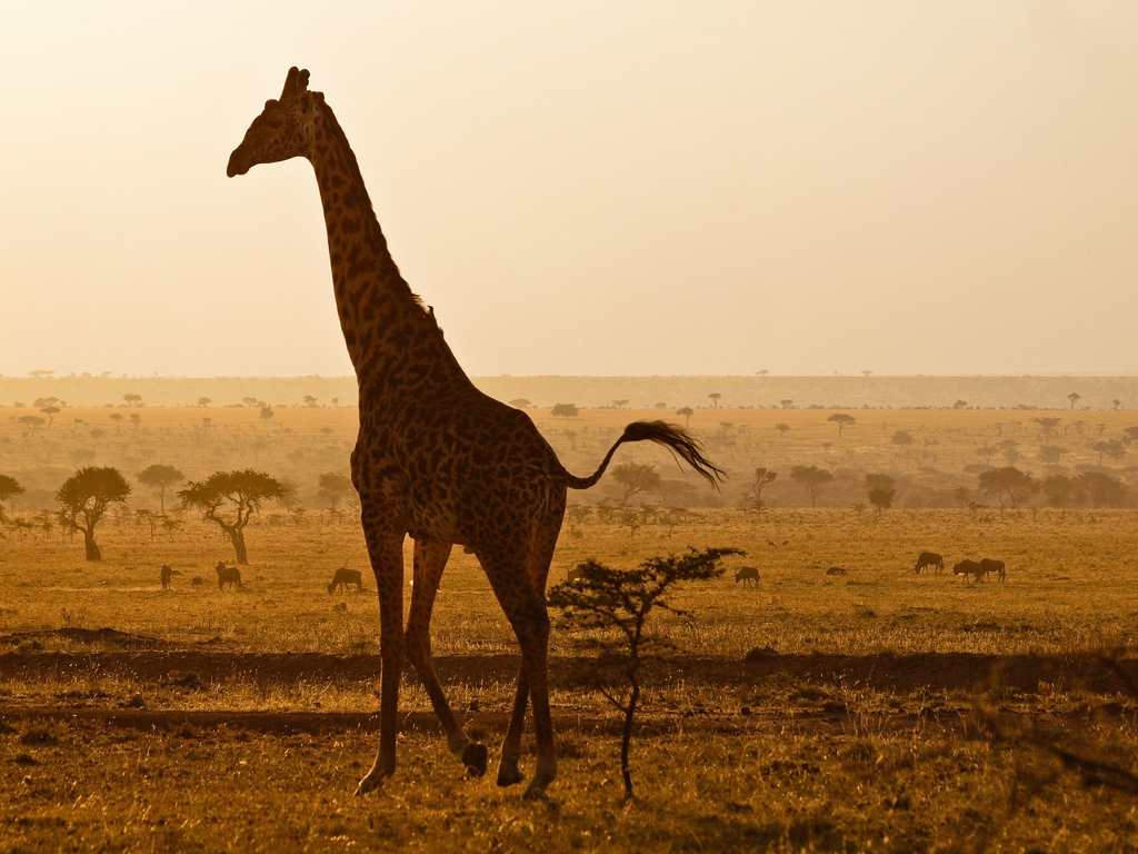 africa, giraffe, nature, safari, wild