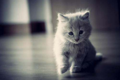 animal, baby, cat, cute, fluffy