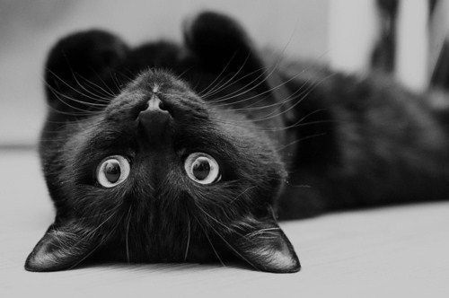 animal, b&w, beau, black, black cat, black cat *-*, cat, chat, cute, fashion, jessica, mode, noir, noitedeoutono