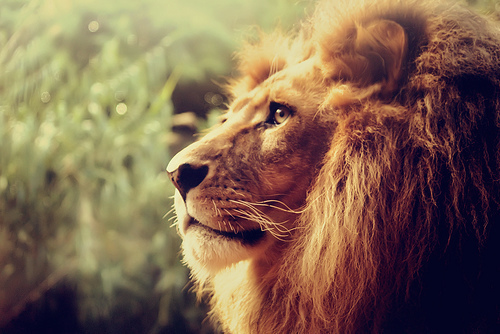 animal, beautiful, cat, feline, lion
