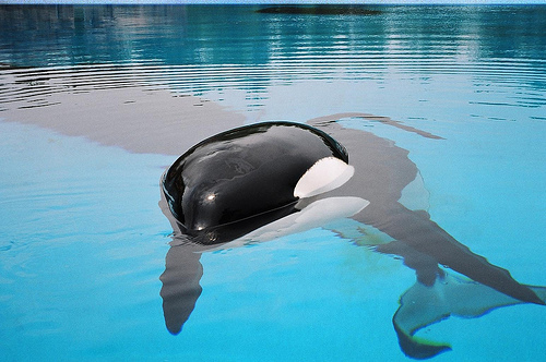 animal, beautiful, cute, killer whale, whale