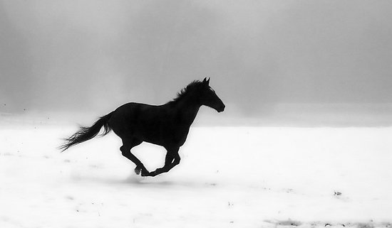 animal, black, horse, nature, white, winter