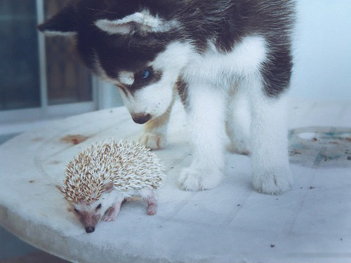 animal, blue eyes, cute, hedgehog, husky