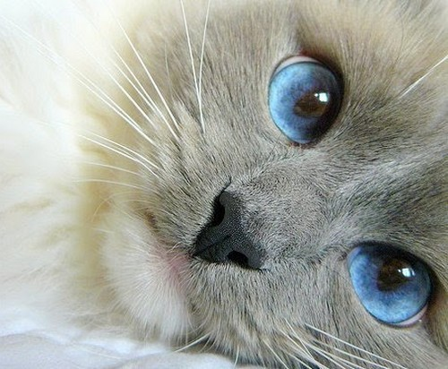animal, cat, cute, eyes