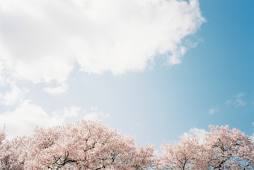 asian, beautiful, blossom, cherry, cherry blossom, cute, love, lovely, nature, photography, pretty