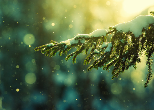 autumn, christmas, cold, light, nature, photography, pine, pretty, snow, tree, trees, winter