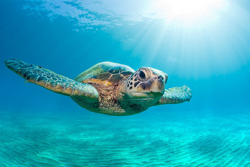 Cute baby sea turtles in the water - photo#19