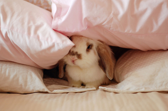 bed, blankets, bunny, cute, rabbit