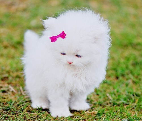 bow, cat, cute, fluffy, furry, hot pink, kitten, kitty, pink, white