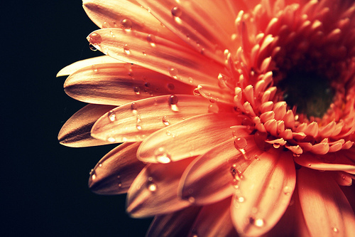 flower, orange, water droplets, white