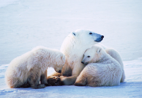 adorable, animal, animals, beautiful, cute, polar bear, polar bears, pretty