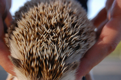 adorable, animals, awesome, cool, cute, hedgehog, nature, pets, quality, tiny