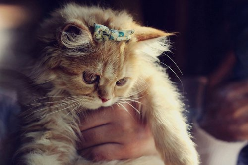 adorable, beautiful, bow, cat, classy