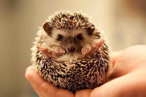 adorable, cute, hedgehog, hedgie, love, pet