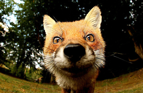 animal, animals, close up, cute, exotic, fox, nature, photography, red fox, wildlife