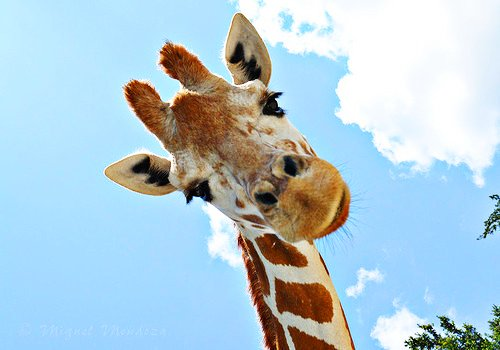 animal, camelopard, contempt smiles tumblr, cute, giraffe