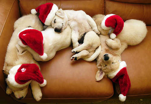 animal, christmas, couch, cuddle, cute, dog, doggy, hat, lab, puppy, santa, sofa, xmas