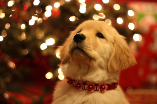 animal, christmas dog, cute, holiday puppy, puppy