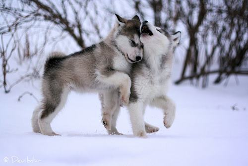animal, cute, husky, lupi, snow
