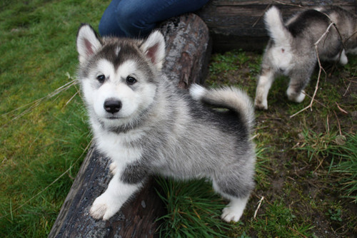 animals, beautiful, dog, huskies, husky