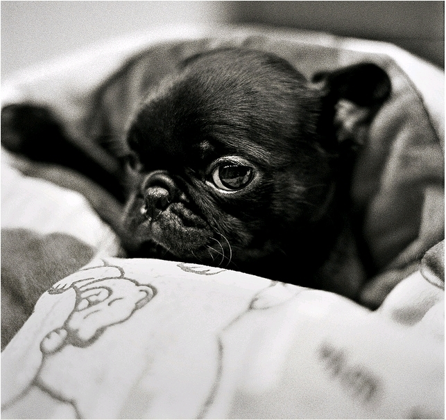 animals, black and white, cute, dog, french bulldog