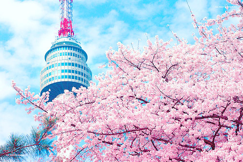 asia, beautiful, blue, cherry blossom, flowers, korea, photography, pink, scenary, seoul, seoul tower, south korea