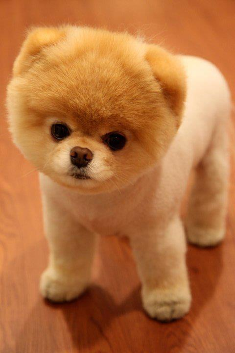 bear dog, cute, pomeranian