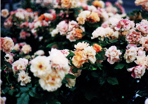 beautiful, boy, bushes, colour, colours, cute, floral, flower, fluffy, girl, guy, leaves, nice, orange, photography, pink, pretty, vintage