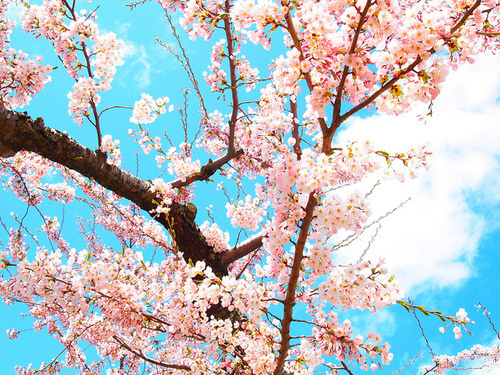 beautiful, cherry tree, nature, pink, tree