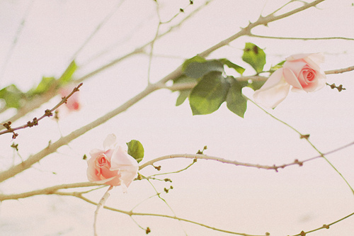 branches, flowers, nature, pink, pretty, roses, thornes, tree