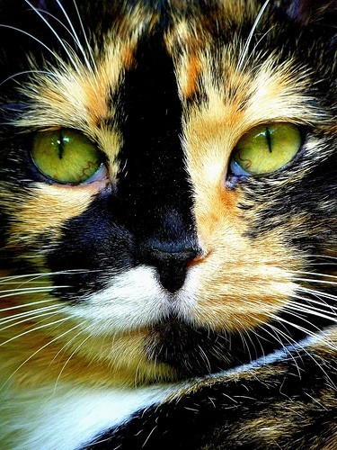 calico, cat, eyes, green, kitten