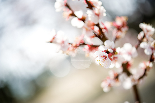 cherry blossom, cherry blossoms, cute, floral, flower