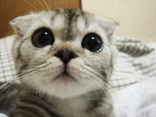 aaawwh adorable big eyes cat cute image 301185 on