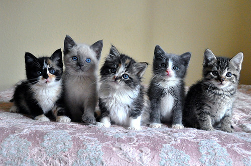 adorable, animal, baby animals, blue, cat