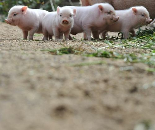 adorable, animals, baby, cute, pigglet